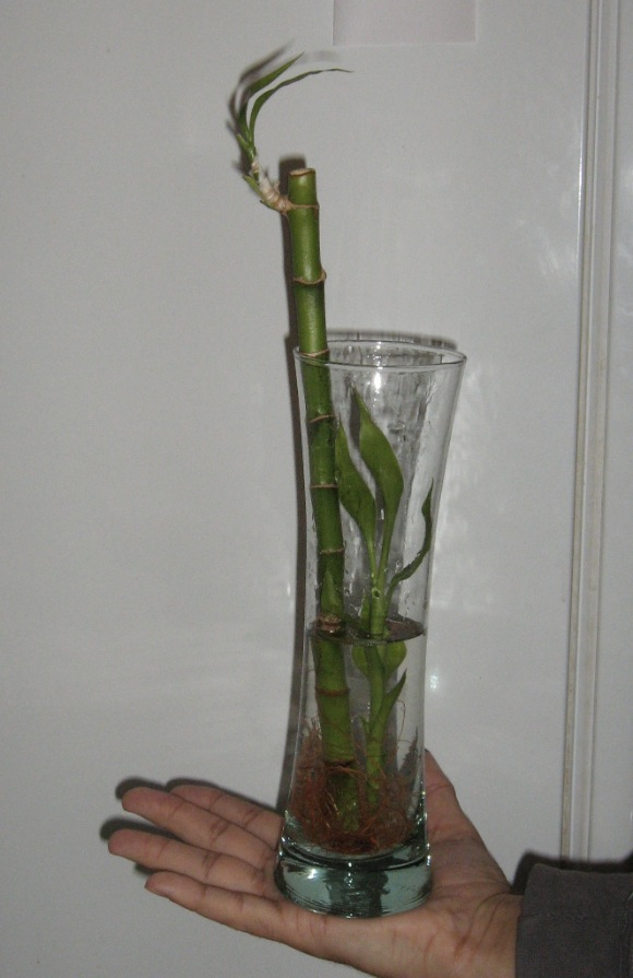 Bambusz üvegben