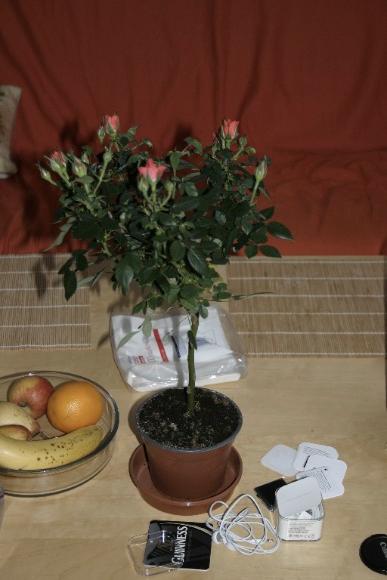 Új rózsa